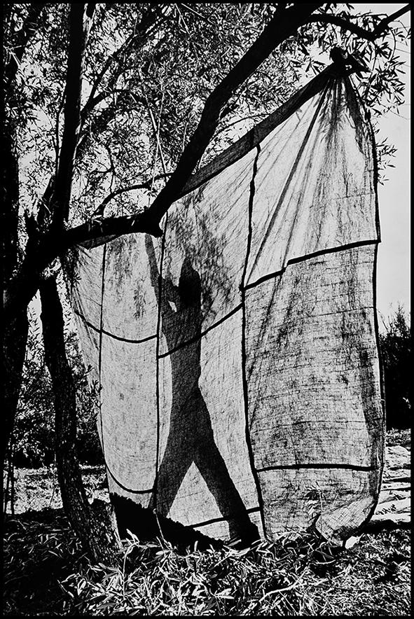 Récolte des olives, Moulay Idriss, 1995